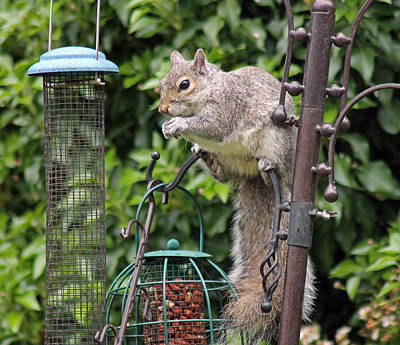 Photograph - Squirrel Eating Nuts by Tony Murtagh