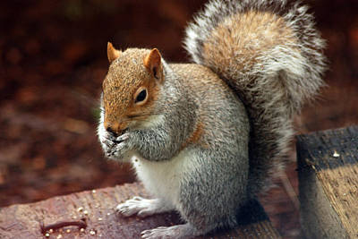 Photograph - Squirrel Eating by Ron Roberts