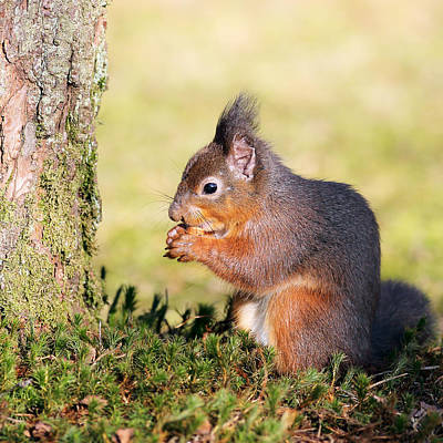 Photograph - Squirrel by Grant Glendinning