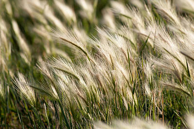 Photograph - Squirrel Grass by Fran Riley