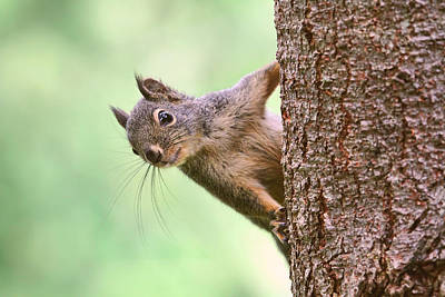 Photograph - Squirrel In A Tree by Peggy Collins