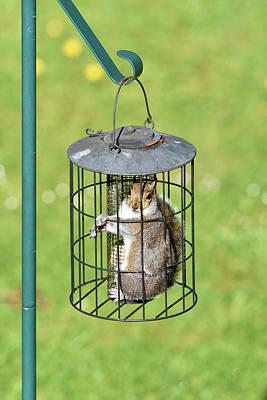 Eastern Grey Squirrel Photograph - Squirrel In Bird Feeder by Dr P. Marazzi