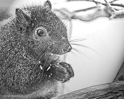 Squirrel In Black And White Art Print