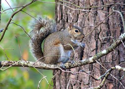 Photograph - Squirrel In Forest by Jeanne Kay Juhos
