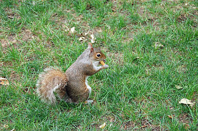 Photograph - Squirrel In The Grass by Aimee L Maher ALM GALLERY