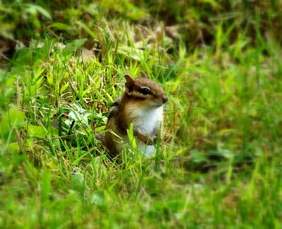 Photograph - Squirrel In The Lawn by Linda Rae Cuthbertson