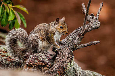 Photograph - Squirrel In The Wilderness In The North Carolina Mountains by Alex Grichenko
