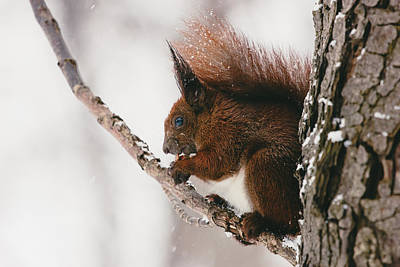 Small Forest. Beauty Photograph - Squirrel In Winter by Pati Photography