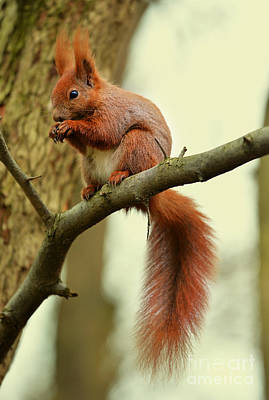 Photograph - Squirrel Sitting On The Branch by Jaroslaw Blaminsky