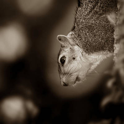 Photograph - Squirrel by Joseph G Holland
