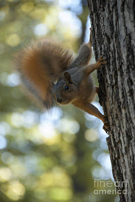 Photograph - Squirrel by Juli Scalzi