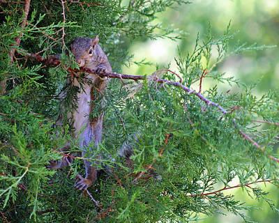 Photograph - Squirrel Just Hanging Around by Karen Adams