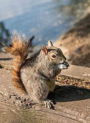 Photograph - Squirrel Lunch by Lenny Carter