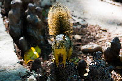 Photograph - Squirrel by Nathan Hillis