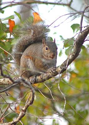 Photograph - Squirrel On Branch by Jeanne Kay Juhos