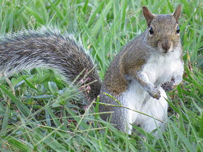 Squirrel Photograph - Squirrel On The Grass by Zina Stromberg