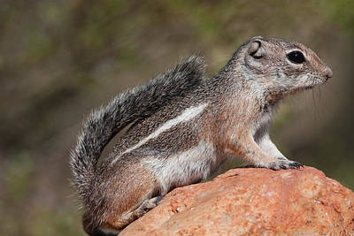 Squirrel Perched On A Rock Art Print by Ruth Jolly