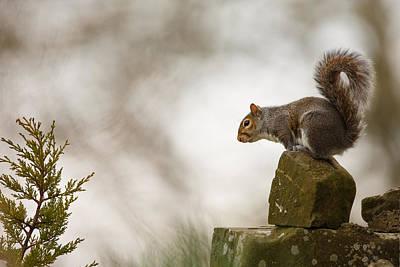 Squirrel Poised Art Print