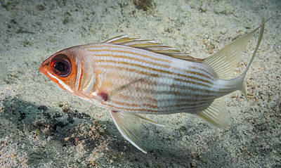 Photograph - Squirrel Fish Sideview by Jean Noren
