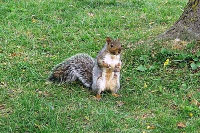 Photograph - Squirrel Standing Up by Lucinda VanVleck