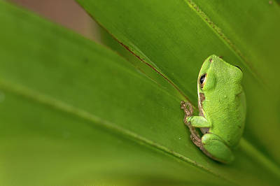 Frog Photograph - Squirrel Tree Frog, Everglades National by Rob Sheppard