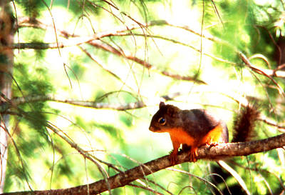Photograph - Squirrel Up A Tree by Robert  Rodvik
