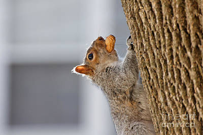 Sweet Success Photograph - Squirrel With Peanut by Jannis Werner