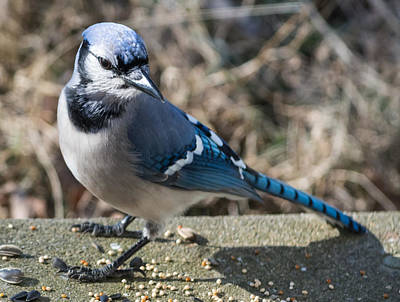 Blue Jay Photograph - Strike A Pose by Jan M Holden