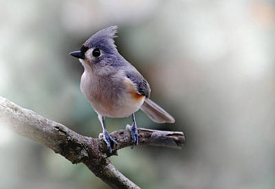 Of Birds Photograph - Sring Time Titmouse by Skip Willits