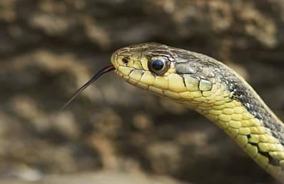 Garter Snake Photograph - Ssssss by Mircea Costina Photography