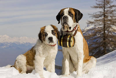 Dog In Snow Photograph - St Bernard And Puppy by Jean-Michel Labat