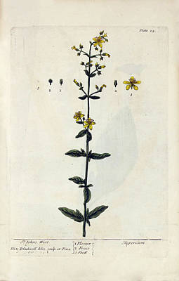 St John's Wort Plant Art Print by National Library Of Medicine