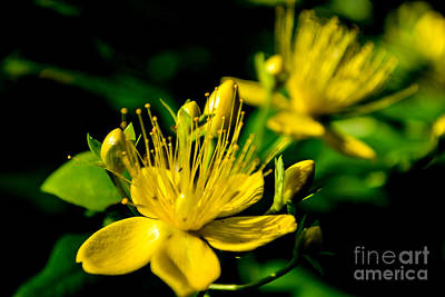 St John's Wort Art Print by Scott Lyons