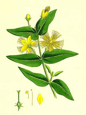 Photograph - St Johns Wort by Sheila Terry
