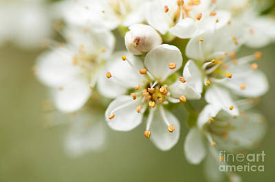 Rosaceae Photograph - St Lucie Cherry Blossom by Anne Gilbert