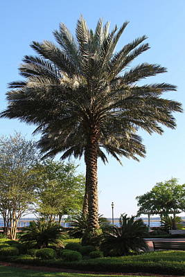 Park Photograph - St. Mary's Palm by Cathy Lindsey