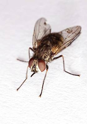 Anthrax Photograph - Stable Fly by Stephen Ausmus/us Department Of Agriculture