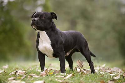Pitbull Photograph - Staffordshire Bull Terrier by Jean-Michel Labat