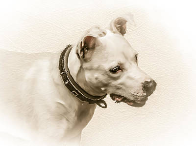Bull Photograph - Staffordshire Terrier by Ian Hufton