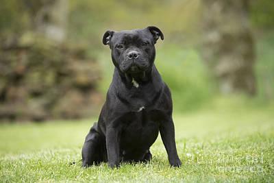 Pitbull Photograph - Staffordshire Terrier by Jean-Michel Labat