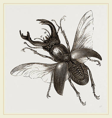 Beetle Drawing - Stag Beetle, Beetle In The Family Lucanidae by Litz Collection