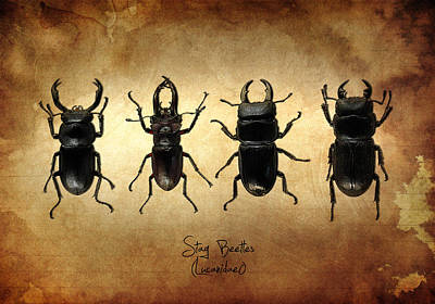 Beetle Photograph - Stag Beetles by Mark Rogan
