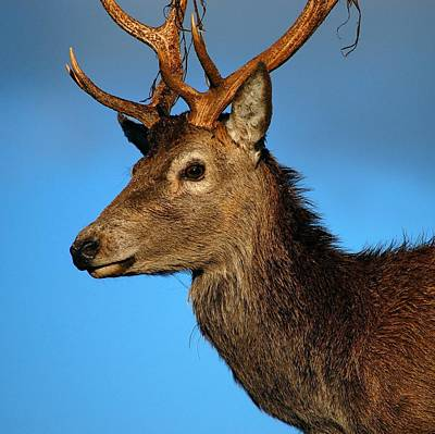 Photograph - Stag Profile by Gavin Macrae