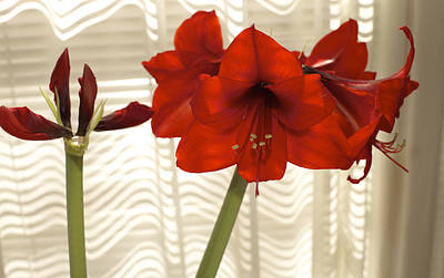 Photograph - Stages Of Amaryllis by Jane Eleanor Nicholas