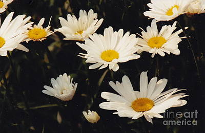 Photograph - Stages Of Daisies by Barbara Plattenburg