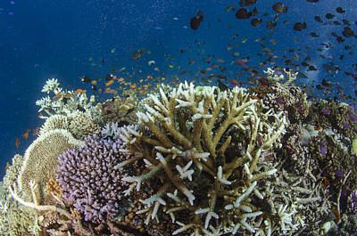 Staghorn Coral And Fish Koro Island Fiji Print by Pete Oxford