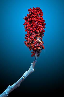 Sumac Flower Photograph - Staghorn Sumac by Brian Stevens