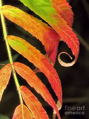 Photograph - Staghorn Sumac by Janice Drew