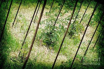 Photograph - Stakeout - Garden Fresh - Baby Tomato Plants by Andee Design