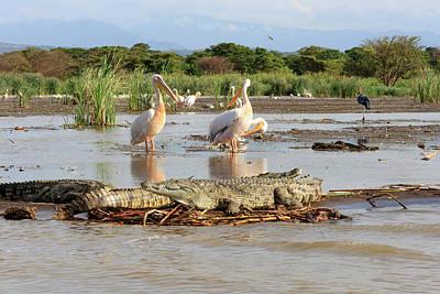 Crocodile Wall Art - Photograph - Stalking Crocodile by Tom Norring